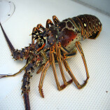 Equilibrium Price And Australian Lobsters