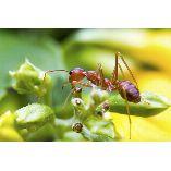 Ants Control Brisbane