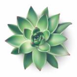Succulents Greener