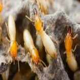 Pest Control Yarralumla